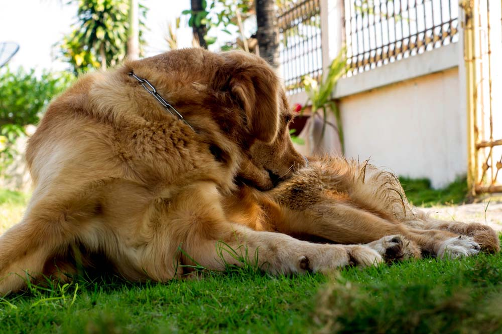 golden retriever biting